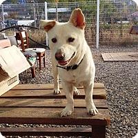 Adopt A Pet :: Huey - Fairfax, VA