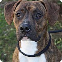 Adopt A Pet :: PONGO - Red Bluff, CA