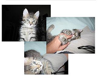 Domestic Mediumhair Kitten for adoption in Phoenix, Arizona - PEPPER
