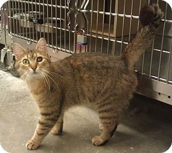Domestic Shorthair Cat for adoption in Greenville, South Carolina - Sissy