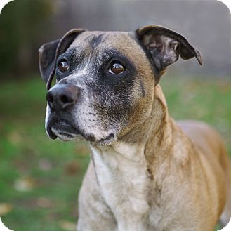 Boxer Mix Dog for adoption in Rockaway, New Jersey - Mitch