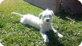 Maltese/Terrier (Unknown Type, Small) Mix Dog for adoption in San Diego, California - Precious SOPHIE