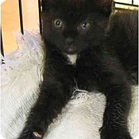 Adopt A Pet :: KITTENNellie2 - Plainville, MA