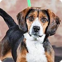 Adopt A Pet :: Valentine - Novi, MI