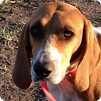 Adopt A Pet :: Kalypso - Dallas, TX