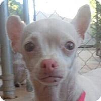 Adopt A Pet :: PJ - albino - Phoenix, AZ