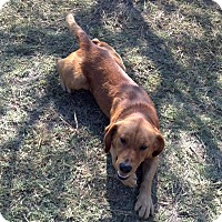 Redbone Coonhound/Labrador Retriever Mix Dog for adoption in Barnwell, South Carolina - Chester