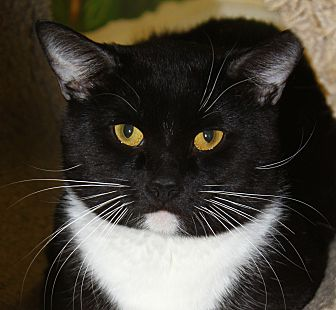 Domestic Shorthair Cat for adoption in North Branford, Connecticut - Tyler