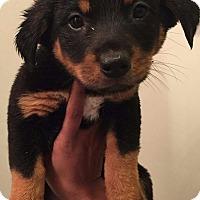 Adopt A Pet :: Sigurd (Vikings pup) - Alexandria, VA
