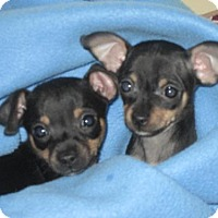 Adopt A Pet :: Izzy's Pup - Prince - Catharpin, VA
