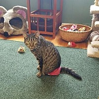 Domestic Shorthair Cat for adoption in Rochester, New York - AMAZING -Hit by car