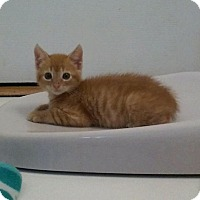 Adopt A Pet :: Valentino ORANGE TABBY KITTEN - tampa, FL
