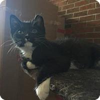 Domestic Shorthair Cat for adoption in New York, New York - Daario