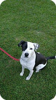 Dalmatian/Labrador Retriever Mix Dog for adoption in Goldsboro, North Carolina - Roscoe