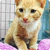 Domestic Shorthair Kitten for adoption in Clarkesville, Georgia - Wakko