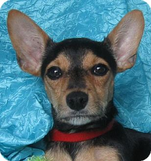 Miniature Pinscher/Jack Russell Terrier Mix Dog for adoption in Cuba, New York - Farley Woodstock