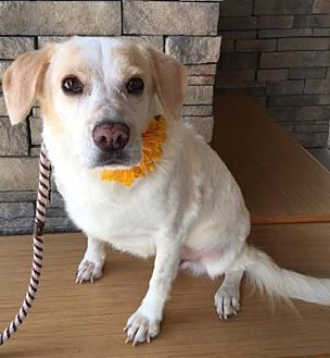 Beagle/Retriever (Unknown Type) Mix Dog for adoption in Fort Worth, Texas - Honey--Courtesy Listing
