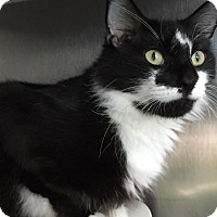 Domestic Mediumhair Cat for adoption in Topeka, Kansas - Ms. Kitty