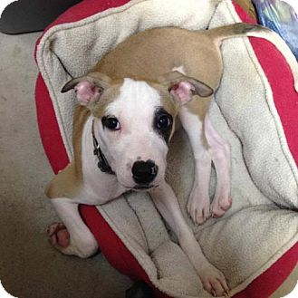 Pit Bull Terrier Dog for adoption in Portland, Indiana - Bodi