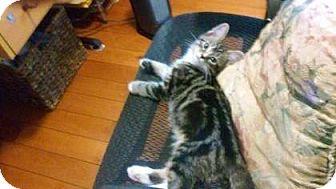 Domestic Shorthair Kitten for adoption in New York, New York - Houdini