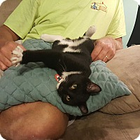 Domestic Shorthair Kitten for adoption in South Bend, Indiana - Little Debbie
