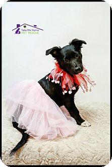 Papillon/Australian Shepherd Mix Puppy for adoption in Richardson, Texas - Rory