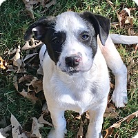 Spaniel (Unknown Type) Mix Puppy for adoption in Southington, Connecticut - Gabby (has been adopted)