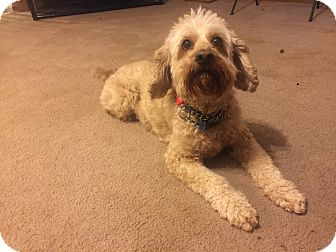 Cockapoo Mix Dog for adoption in Mentor, Ohio - Bonzo 6yr Adopted