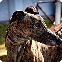 Adopt A Pet :: KC Defiance - Sarasota, FL