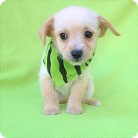 Adopt A Pet :: Mona - Burbank, CA