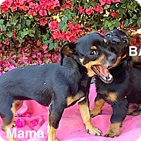 Adopt A Pet :: **Mama Mia and pup**  Video* - Pasadena, CA