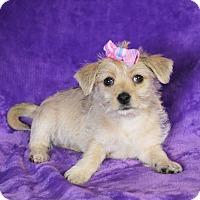 Adopt A Pet :: Suzette - Yucaipa, CA