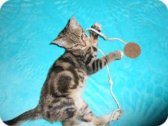 Domestic Shorthair Kitten for adoption in Phoenix, Arizona - SPARKPLUG