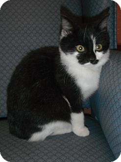 Domestic Shorthair Kitten for adoption in Jackson, Michigan - Alison