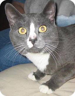 Domestic Shorthair Cat for adoption in Phoenix, Arizona - Rocky
