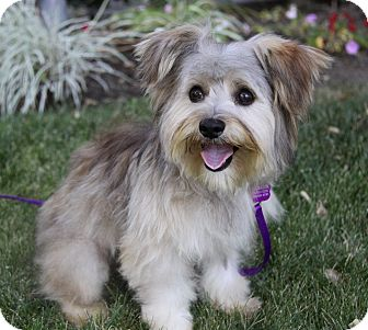 LOCHLYN | Adopted Dog | Newport Beach, CA | Maltese/Yorkie ...