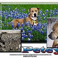 Adopt A Pet :: PETEY - Irving, TX