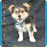 Adopt A Pet :: Seamus - Plano, TX