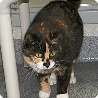 Adopt A Pet :: Calie - Dover, OH