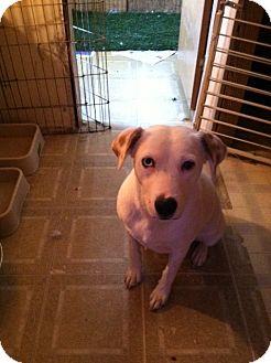 Australian Shepherd Dog for adoption in Tonopah, Arizona - PRINCESS