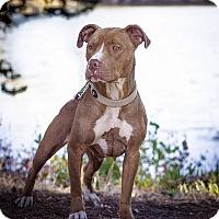 Adopt A Pet :: Honey Rose - Berkeley, CA