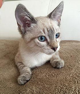 Siamese Kitten for adoption in Sunny Isles Beach, Florida - Margot