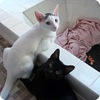 Adopt A Pet :: Bonded Brothers - Chandler, AZ