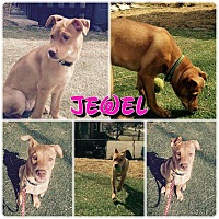 Adopt A Pet :: Jewel - Garden City, MI