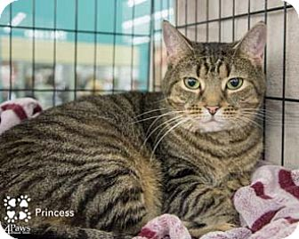 Domestic Shorthair Cat for adoption in Merrifield, Virginia - Princess