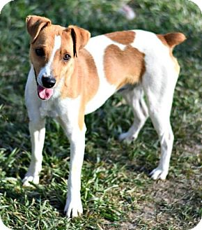 Smooth Fox Terrier Dog for adoption in Dodson, Montana - Dodger