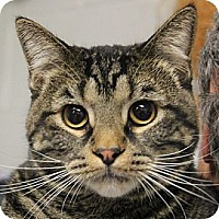 Domestic Shorthair Cat for adoption in Huntley, Illinois - Edler