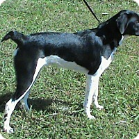 Pointer Mix Dog for adoption in Maynardville, Tennessee - Oden