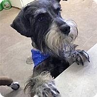 Schnauzer (Standard) Mix Dog for adoption in Duncan, Oklahoma - DOMINO