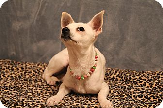 Chihuahua Dog for adoption in Yukon, Oklahoma - Solita
